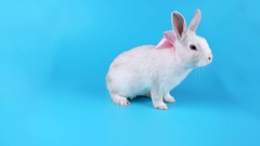 Beautiful white rabbit with pink bow moves to the camera and sniffing Stock Footage