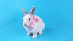 Cute white rabbit with pink bow sits, licking his lips Stock Footage