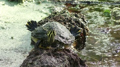 Florida Cooter  on a log Stock Footage