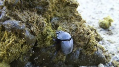 Dung beetle shapes up a dung ball Stock Footage