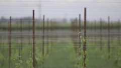 Row of vignieti in Tuscany Stock Footage