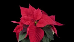 Time-lapse of dying red poinsettia Christmas flower in RGB + ALPHA matte format Stock Footage