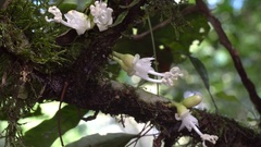 Flowers of a Sapotillo tree (Matisia obliquifolia, family Bombacaceae) Stock Footage