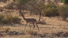 Girafe antelope walks and eats, UHD 4K Stock Footage