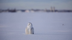 Snowy owl sitting in snow looking around Stock Footage