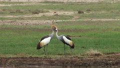 Crested cranes kissing Stock Footage