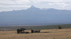 Buffalos and rhino with mount kenya in the background, UHD 4K Stock Footage