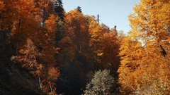 Downward movement. Autumn forest. Orange leaves on the tops of beech trees and Stock Footage