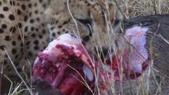 Close up of cheetah eating Stock Footage
