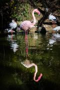 Flamingo One Leg Standing Water Pink Reflection Symmetric Pond Lake Zoo Exo.. Stock Photos