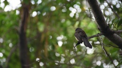 Bird (Pied Fantail Flycatcher) on a tree Stock Footage