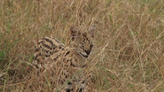 Close up of a serval cat in the grass Stock Footage