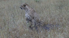 Cheetah watching for intruders who may steal his kill Stock Footage