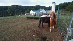FARM SURISE - PONIES IN SHOT - PONY WALKS UP TO CAMERA Stock Footage