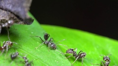 Ant tug of war. Slow motion of a swarm of Azteca Ants  Stock Footage