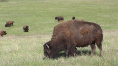 American Plains Bison Buffalo Grazing in Green Prairie Grassland Stock Footage