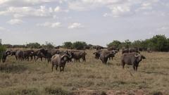 Herd of African buffalos in grassland, UHD 4K Stock Footage