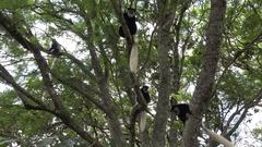 Colobus monkeys in tree, medium shot UHD 4K Stock Footage
