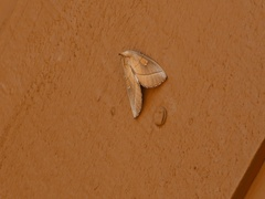 Moth Camouflage Cryptic Coloration Blending with Background Stock Footage
