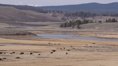 Beautiful Long Shot of Hayden Valley Yellowstone National Park and Bison Stock Footage