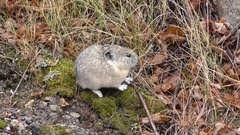American Rocky Mountain Pika Foraging at Yellowstone National Park Stock Footage