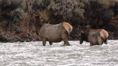 Cow and Calf Elk in Yellowstone Crossing Water Rapid River Stock Footage