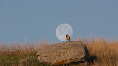 Meadowlark Songbird Singing in Spring Prairie on Rock Full Moon Stock Footage