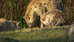 Family of Spotted Hyenas, 4K Stock Footage