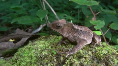 Slow motion shot of a Crested Forest Toad (Rhinella margaritifera) escaping Stock Footage