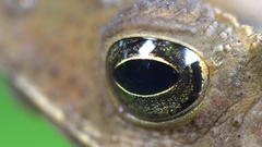 Crested Forest Toad (Rhinella margaritifera) blinking its eye.  Stock Footage