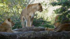 Trio of Lions Resting in Rock, 4K Stock Footage