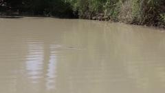 Huge saltwater crocodile lurking in murky water Stock Footage
