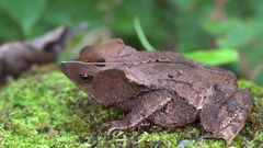 Crested Forest Toad (Rhinella margaritifera).  Stock Footage