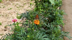 Large Orange Butterfly Flapping Wings On Flower Stock Footage