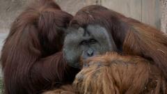 Adult Male Orangutan Getting Groomed by Female, 4K Stock Footage