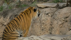 Tiger Fight, 4K Stock Footage