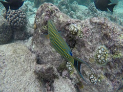 A blue striped doctor fish Stock Footage