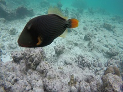 Puffer fish floats in the coral reef Stock Footage