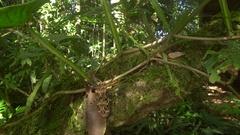 Pan to a female Harlequin Beetle (Acrocinus longimanus).  Stock Footage