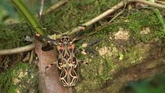 Female Harlequin Beetle (Acrocinus longimanus).  Stock Footage