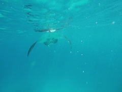 A manta ray floats in the sea Stock Footage