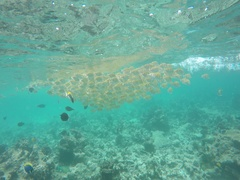 Many lattice doctor fish swim in the sea Stock Footage