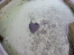 A large sting ray floats in shallow water Stock Footage