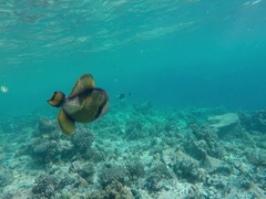 A giant puffer fish swimming Stock Footage
