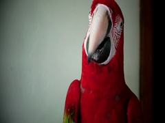 Portrait of a red parrot Stock Footage