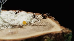 Ants crawling among the rice on a wooden stand. Different types of social Stock Footage
