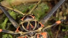 Tilt down a female Harlequin Beetle (Acrocinus longimanus). Stock Footage