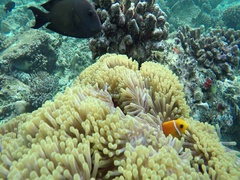 Anemone fish hides in a sea anemone Stock Footage