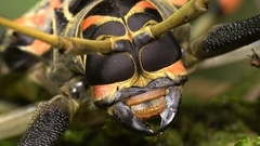 Close-up of the head of a Harlequin Beetle (Acrocinus longimanus) Stock Footage