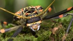 Close-up of the head of a Harlequin Beetle (Acrocinus longimanus) Stock Footage